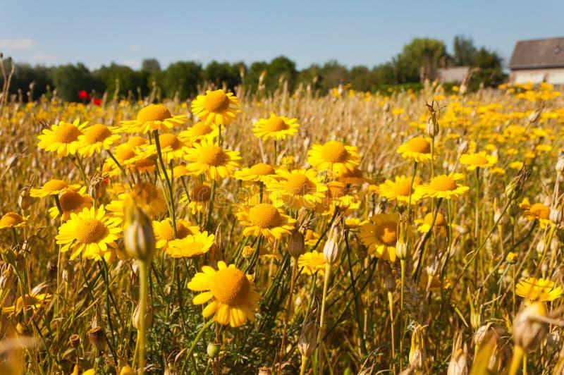 Un margine olandese del campo con i fiori selvaggi fotografia stock