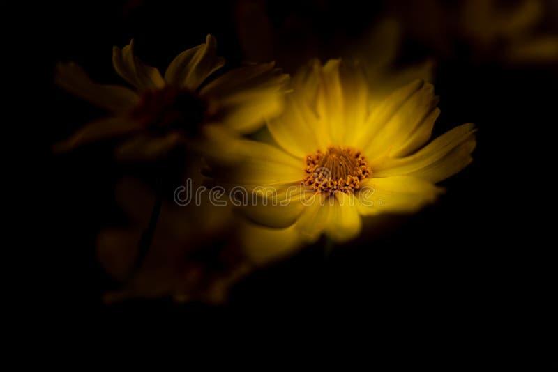 Un Margueritte iluminado por el sol amarillo brillante, o margarita de París contra un fondo oscuro, usando una profundidad del c foto de archivo