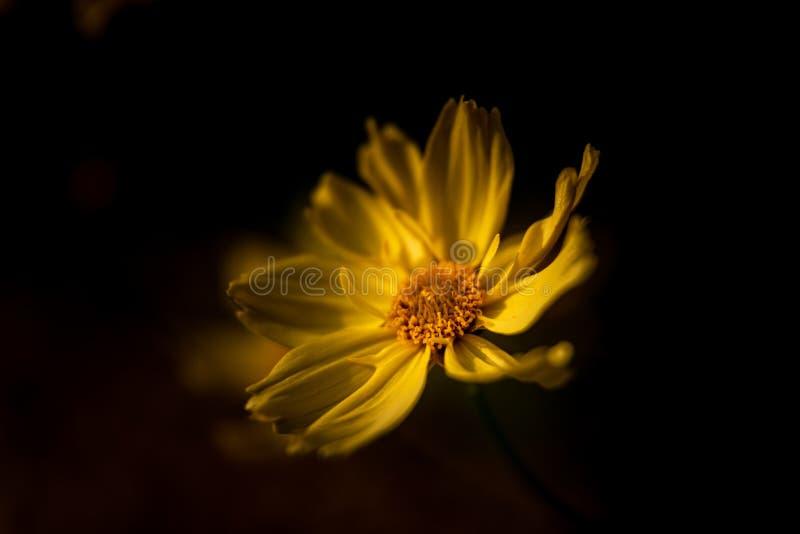 Un Margueritte soleggiato giallo luminoso, o margherita di Parigi contro un fondo scuro, facendo uso di una profondità di campo b fotografie stock libere da diritti