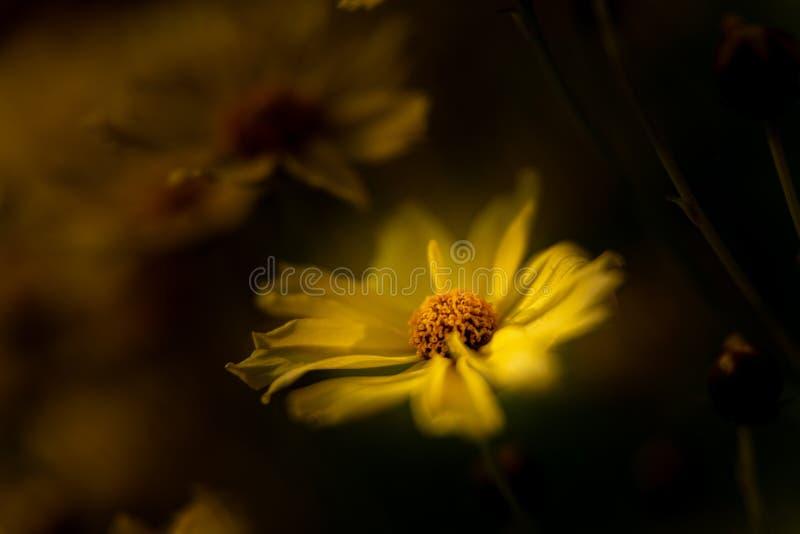 Un Margueritte soleggiato giallo luminoso, o margherita di Parigi contro un fondo scuro, facendo uso di una profondità di campo b fotografia stock libera da diritti