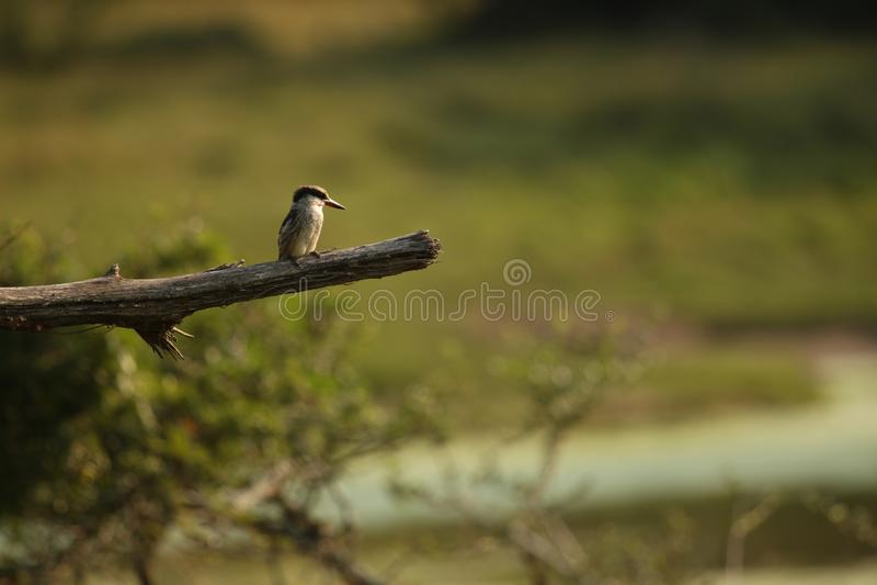 Un martin pescatore a strisce che si siede da solo su un ramo fotografia stock