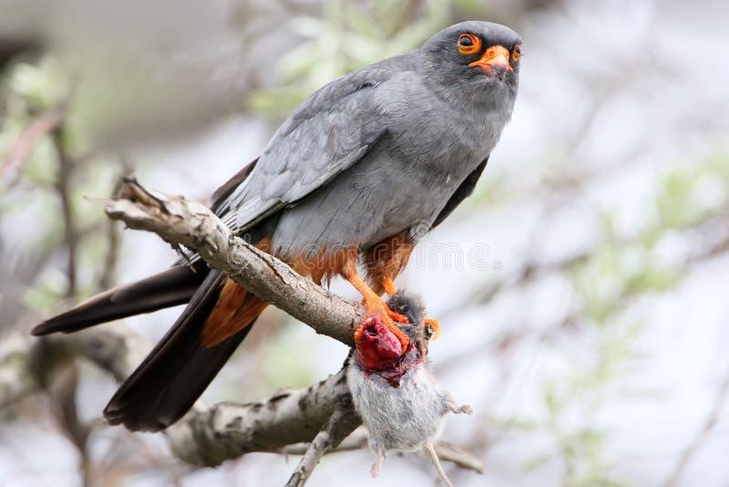 Un maschio del falco cuculo con il topo in sua zampa si siede sul ramo immagini stock libere da diritti