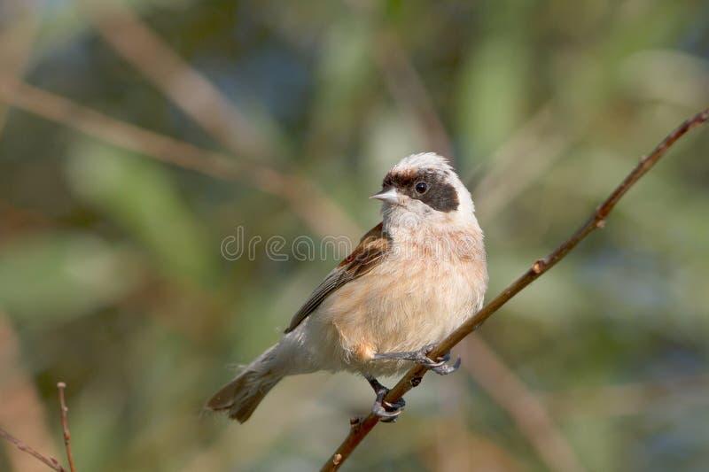 Un maschio del tit di penduline/pendulinus di Remiz fotografia stock