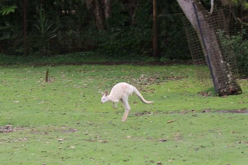 Un maschio di canguro gigante bianco immagine stock libera da diritti