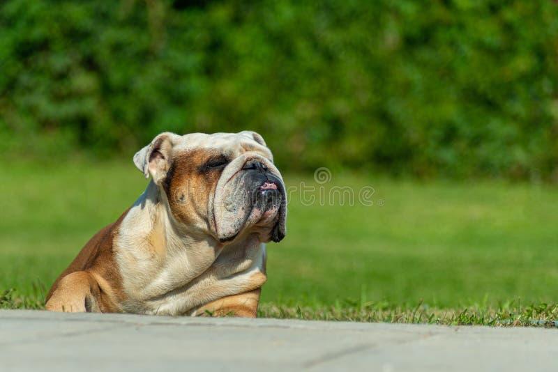 Un maschio inglese anziano potente del bulldog sta trovandosi sull'erba al sole che ? strabica nel piacere fotografia stock libera da diritti
