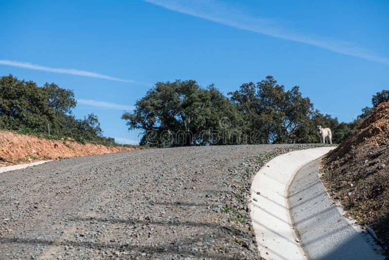 Un mastiff espagnol blanc sur une colline à l'extrémité d'un chemin en pierre près de Grimaldo image libre de droits