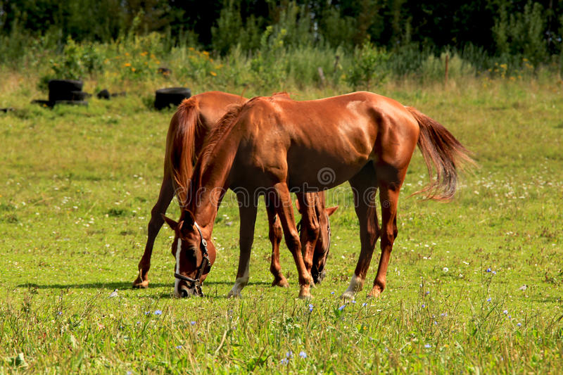 Un matin ensoleillé, les chevaux frôlant dans le pré photos stock