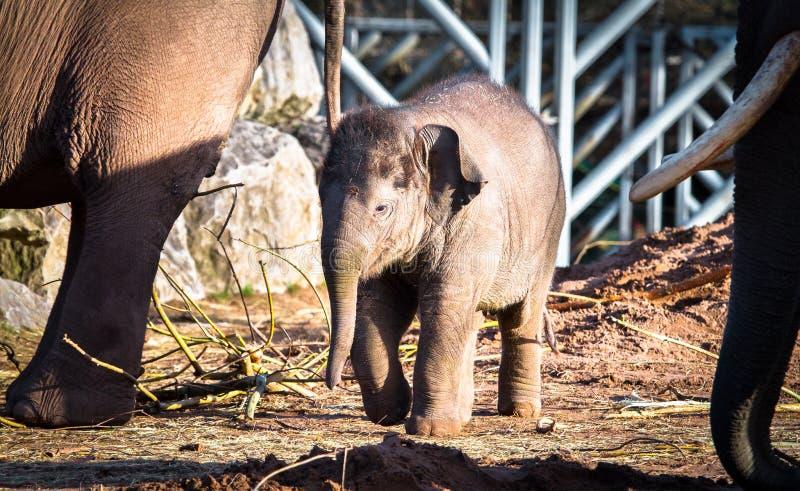 Un maximus del Elephas del elefante asiático del bebé fotografía de archivo