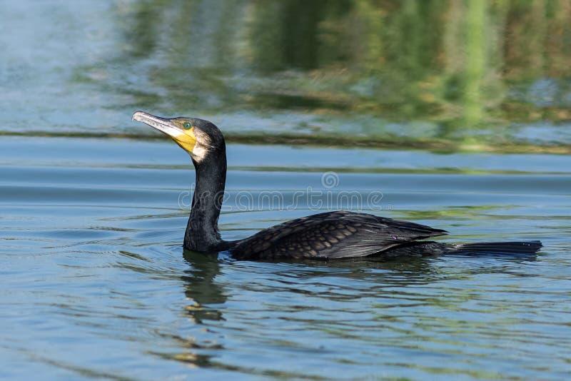 Un mayor cormorán en el lago por mañana fotografía de archivo