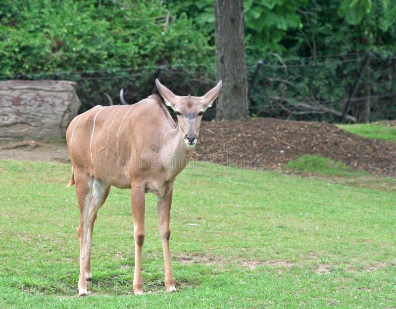 Un mayor Kudu que se coloca en la hierba verde imágenes de archivo libres de regalías