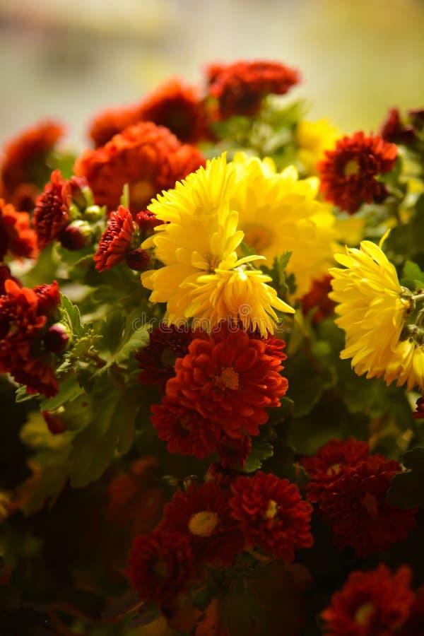 Un mazzo dei chrisantemyms Fiore fragrante fotografie stock