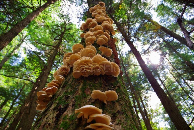 Un mazzo dei funghi di ostrica selvaggi che crescono su un albero nella foresta immagini stock libere da diritti