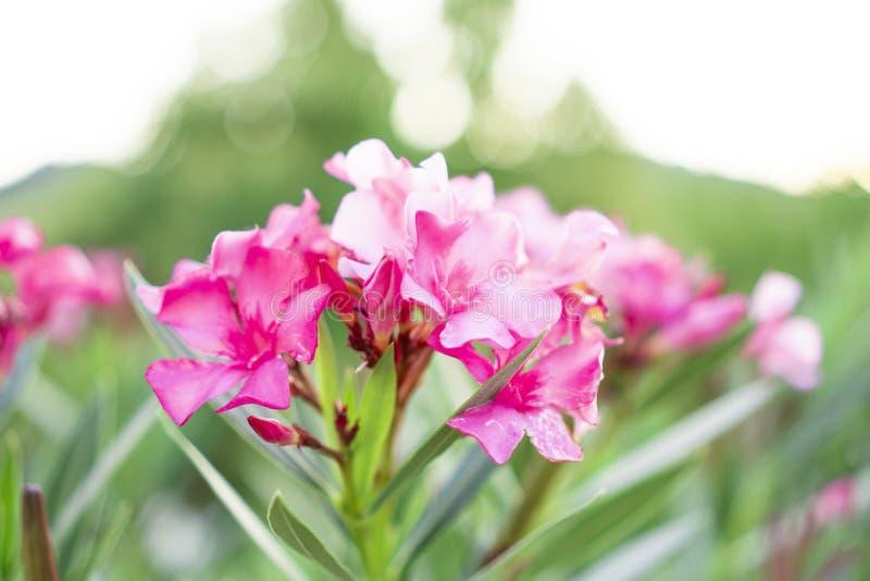 Un mazzo dei petali rosa adorabili dell'oleandro o di Rose Bay dolce fragrante, fiorendo sulle foglie verdi e sul fondo confuso immagini stock