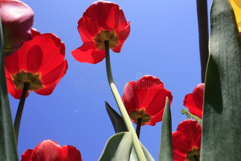 Un mazzo dei tulipani colorati multi contro il primo piano leggero contro il cielo bluastro blu fotografia stock