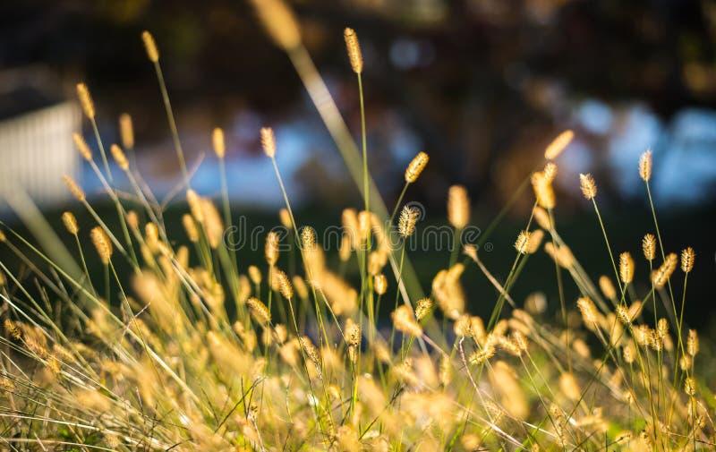 Un mazzo dell'erba di viridis della setaria fotografie stock