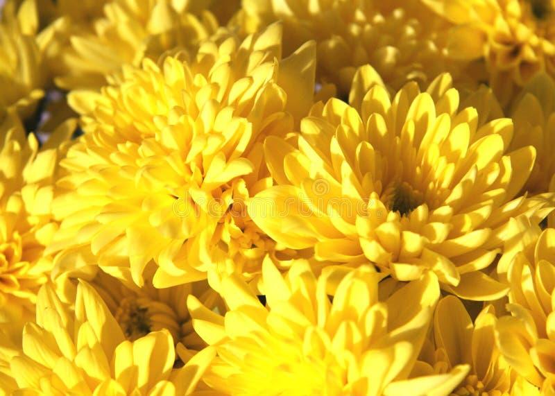 Un mazzo delle margherite gialle immagini stock libere da diritti