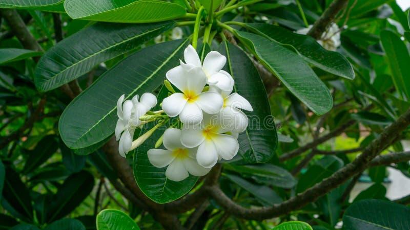 Un mazzo di bella plumeria bianca e gialla dei petali che fiorisce sulle foglie verdi in un parco, sa come albero di tempio fotografia stock libera da diritti