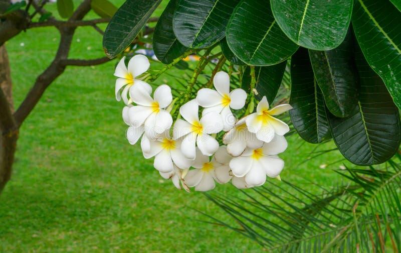 Un mazzo di bella plumeria bianca e gialla dei petali che fiorisce sulle foglie verdi in un parco, sa come albero di tempio immagine stock