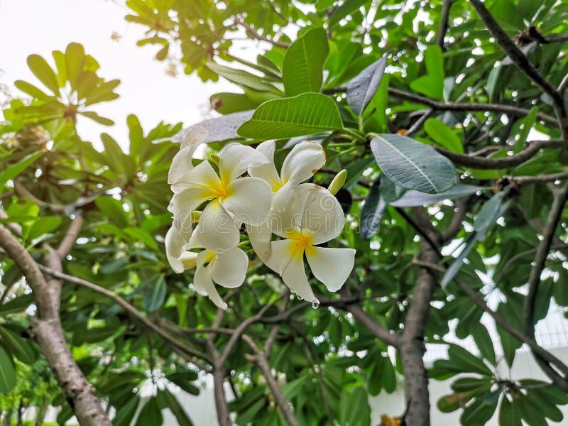 Un mazzo di bella plumeria bianca e gialla dei petali che fiorisce sulle foglie verdi in un parco, sa come albero di tempio, fran fotografia stock