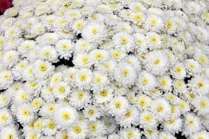 Un mazzo di bello crisantemo fiorisce all'aperto Crisantemi nel giardino Chrisanthemum variopinto del fiore Reticolo floreale immagini stock