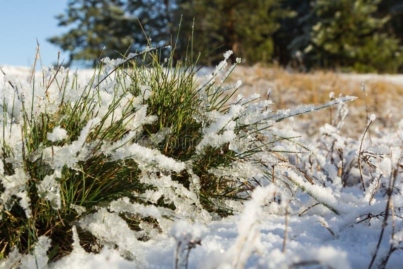 Un mazzo di erba verde coperto di neve alla fine di novembre immagine stock libera da diritti