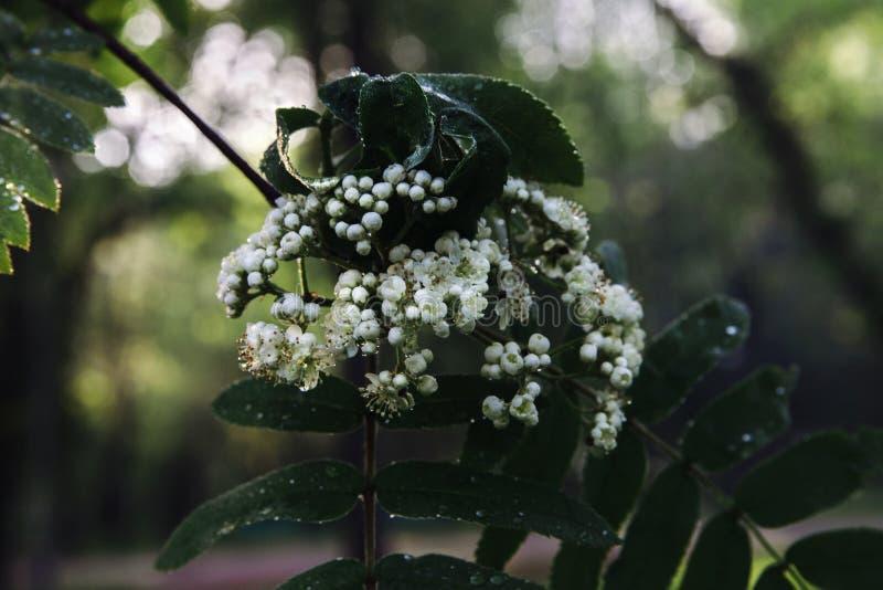 Un mazzo di fiori bianchi non completamente soffiati ashberry su un ramo con le foglie prolungate verdi fotografia stock libera da diritti
