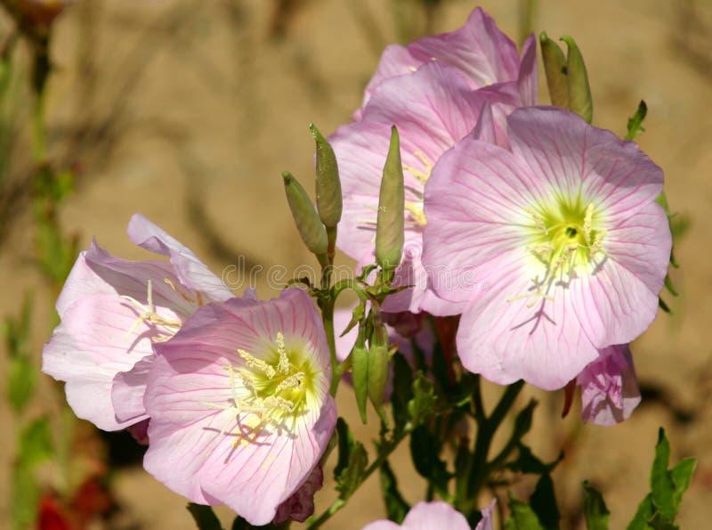 Un mazzo di fiori vistosi dell'enagra fotografie stock libere da diritti