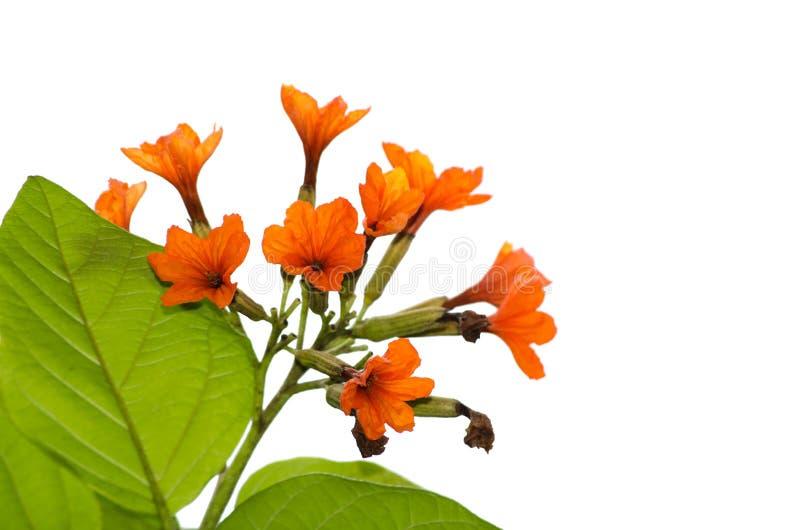 Un mazzo di petali arancio fiorisce sul suo ramo con le foglie verdi isolate su fondo bianco immagini stock