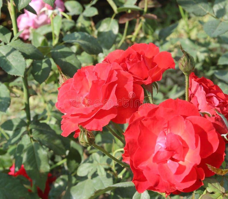 Un mazzo di rose rosse nel giardino fotografia stock libera da diritti