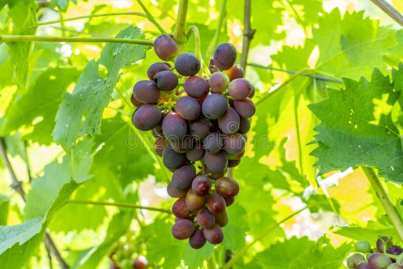 Un mazzo di uve da tavola dolci rosse che appendono su una vite illuminata dai raggi luminosi della vigna del sole fotografia stock libera da diritti