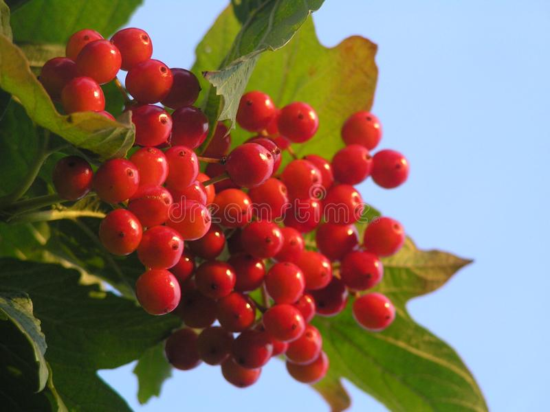 Un mazzo di viburno rosso fotografia stock