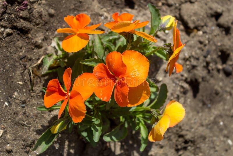 Un mazzo di viole arancio, fine su, vista superiore Fiori arancioni in un giardino fotografia stock