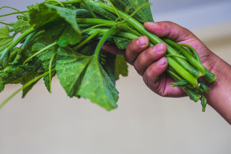 Un mazzo di zucca verde fresca va con la mano fotografia stock