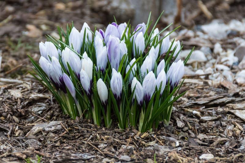 Un mazzo misto di lavanda e di lillies chiusi bianchi che crescono dal suolo fotografia stock