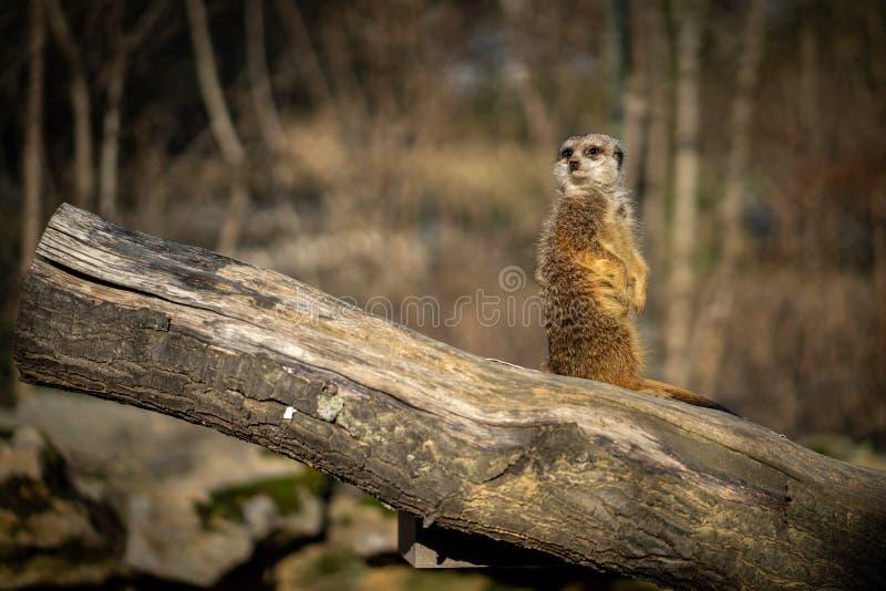 Un meercat dans le zoo de Francfort photographie stock