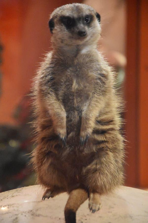 Un Meerkat nel suo habitat fotografia stock libera da diritti