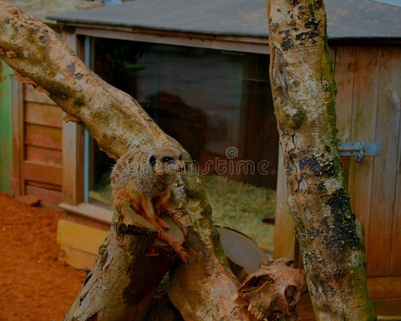 Un meerkat se reposant sur une branche d'arbre images stock