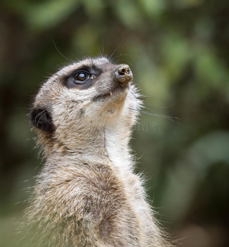Un meerkat se tenant et regardant vers le haut dans le ciel avec le sable sur son nez ou museau Fermez-vous vers le haut de la ph photographie stock libre de droits