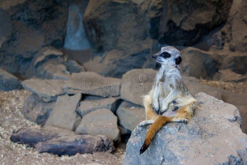 Un meerkat sentado en una roca imagen de archivo libre de regalías