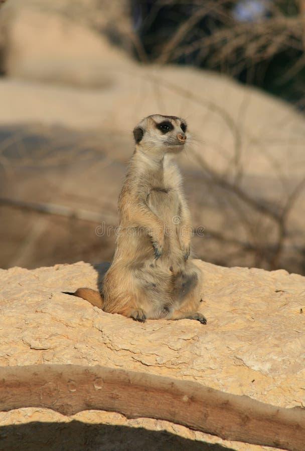 Un Meerkat solitario immagine stock libera da diritti