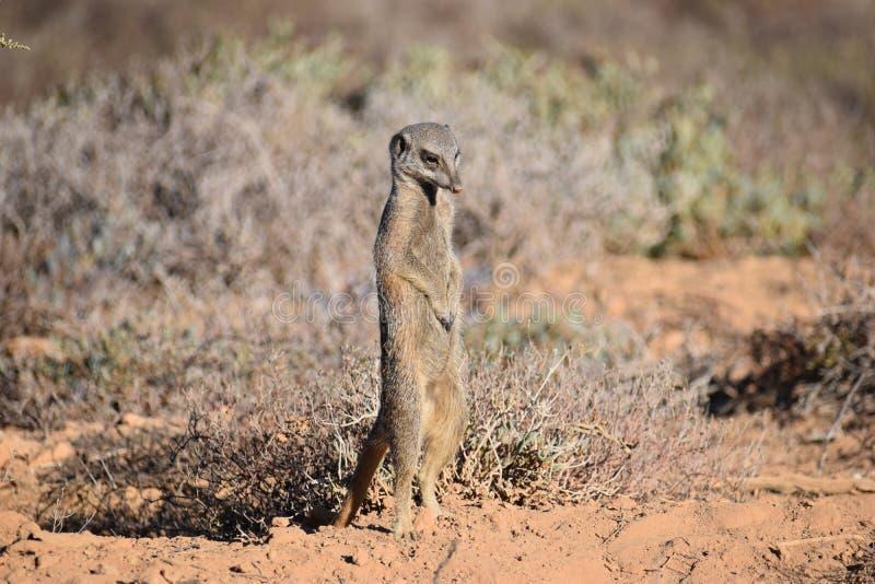 Un meerkat sveglio nel deserto di Oudtshoorn, Sudafrica fotografie stock