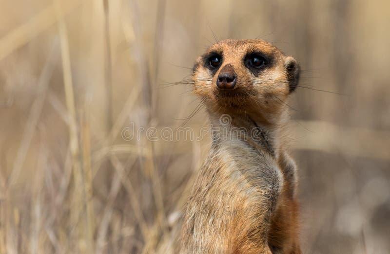 Un meerkat vigilante fotografiado en Suráfrica foto de archivo libre de regalías