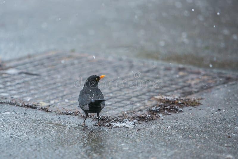 Un merlo con il becco arancio, fiocchi di neve sulle piume fotografia stock