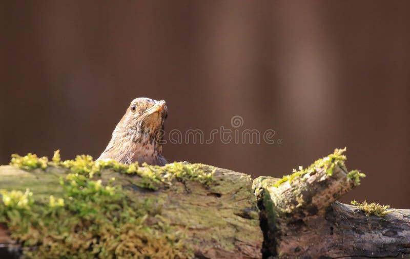 Un merlo femminile che si siede dietro un ceppo muscoso fotografia stock