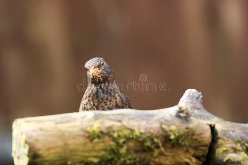 Un merlo femminile che si siede dietro un ceppo muscoso fotografie stock libere da diritti