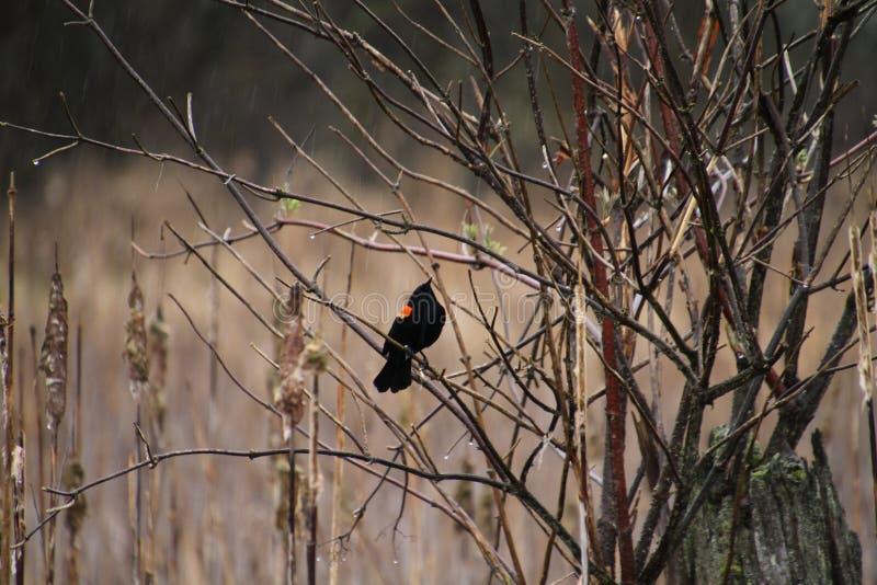 Un merlo rosso dell'ala che si siede su un ramo fotografia stock libera da diritti