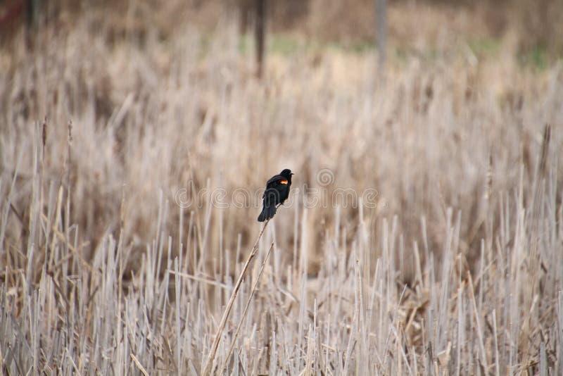 Un merlo rosso isolato dell'ala si è appollaiato su un giunco fotografie stock
