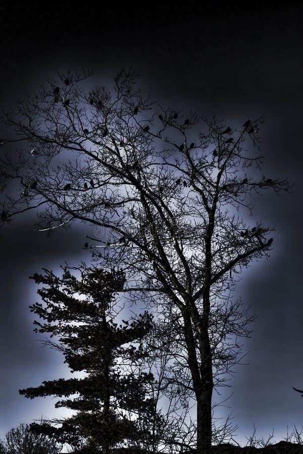 Un meurtre des corneilles recueillent dans un arbre pour la nuit image stock