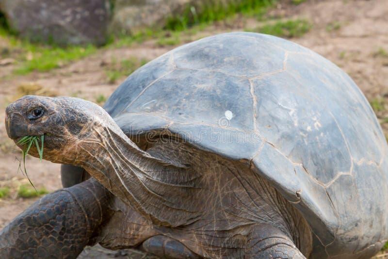 Un mi tir d'une tortue de Galapagos mangeant l'herbe photographie stock libre de droits