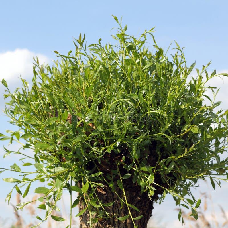 Un mimbre está brotando en la primavera, viminalis del Salix fotografía de archivo libre de regalías